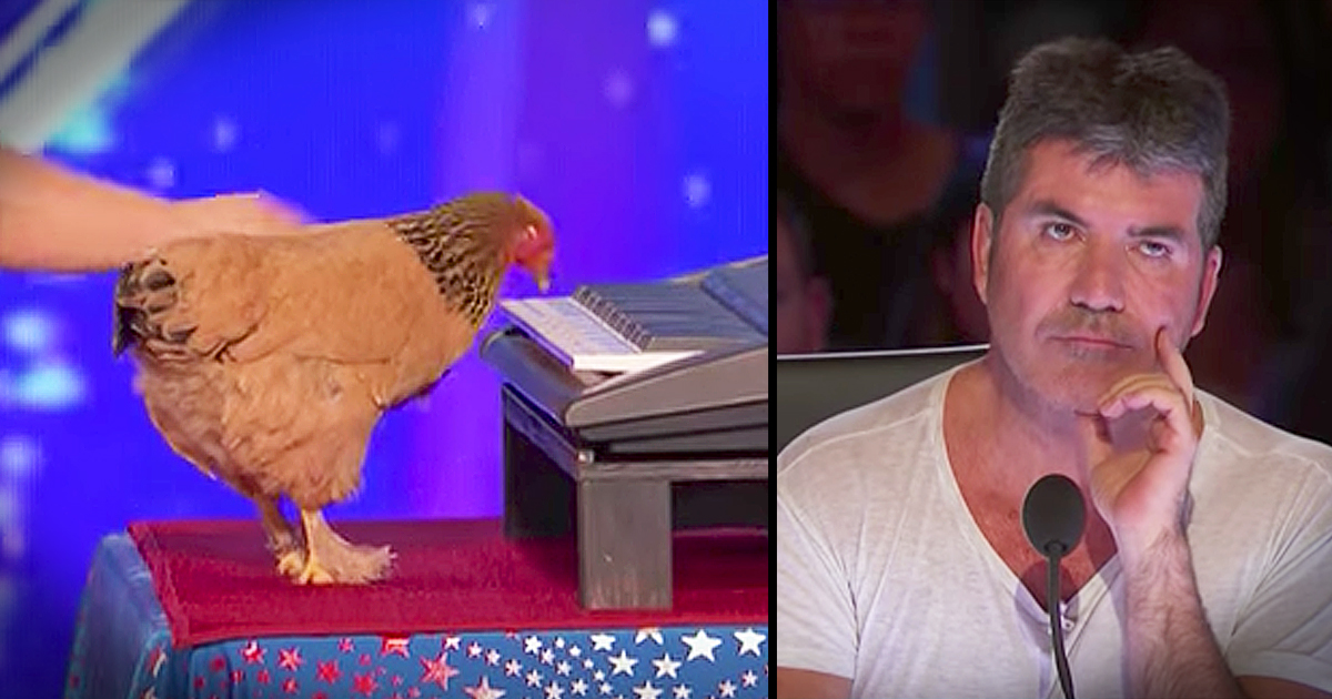 chicken plays piano americas got talent